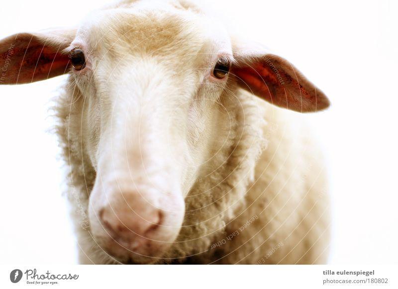 tach auch! Natur Tier Auge natürlich authentisch Ohr Mensch Tiergesicht beobachten Vertrauen Fell Schaf Mittagessen Nutztier Tierliebe Kopf
