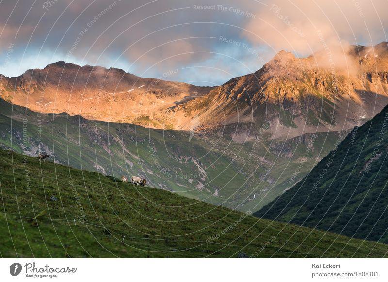 Glorious sundown Natur Landschaft Wiese Alpen Berge u. Gebirge Gipfel Tier Kuh ästhetisch natürlich Glück Zufriedenheit Warmherzigkeit Abenteuer Erholung