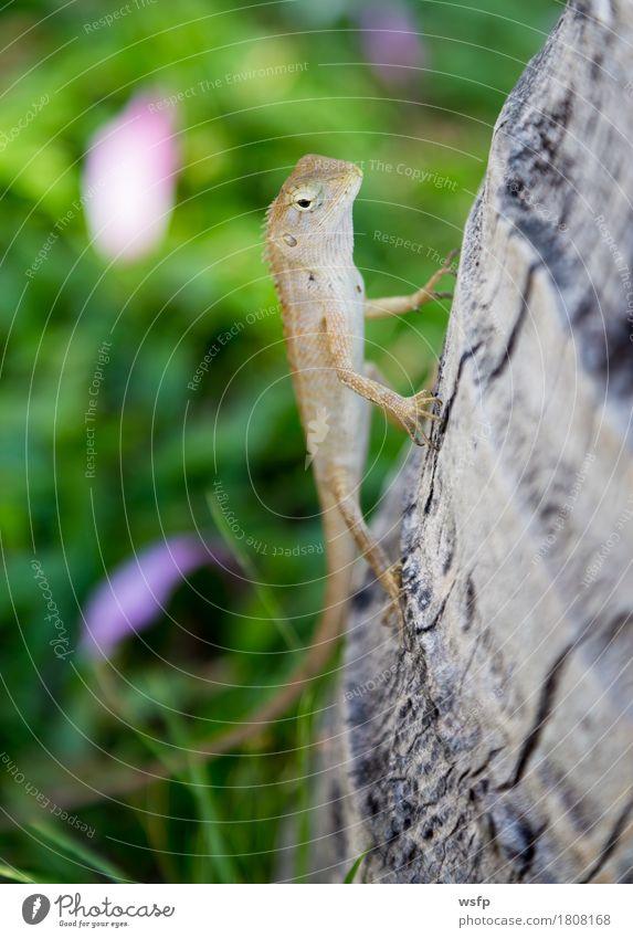 Eidechse in Thailand sitz an einem Baumstamm Natur Tier sitzen Echsen gekko Gecko Leguane sonnen Reptil Außenaufnahme