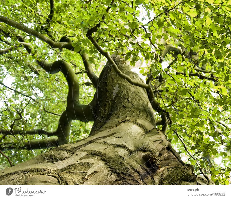 Uralte Buche Baum Blatt trunk crown of tree Wald crust wood Ast Geäst Umweltschutz green lung old giant age-old Gesundheit strength floral dendritic Vernetzung