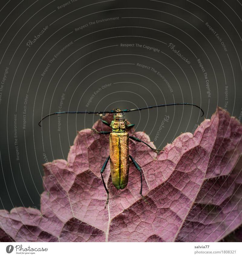 Moschusbock Umwelt Natur Pflanze Tier Blatt Blattadern Garten Wildtier Käfer Insekt Fühler 1 krabbeln außergewöhnlich exotisch braun gold schwarz Design Duft