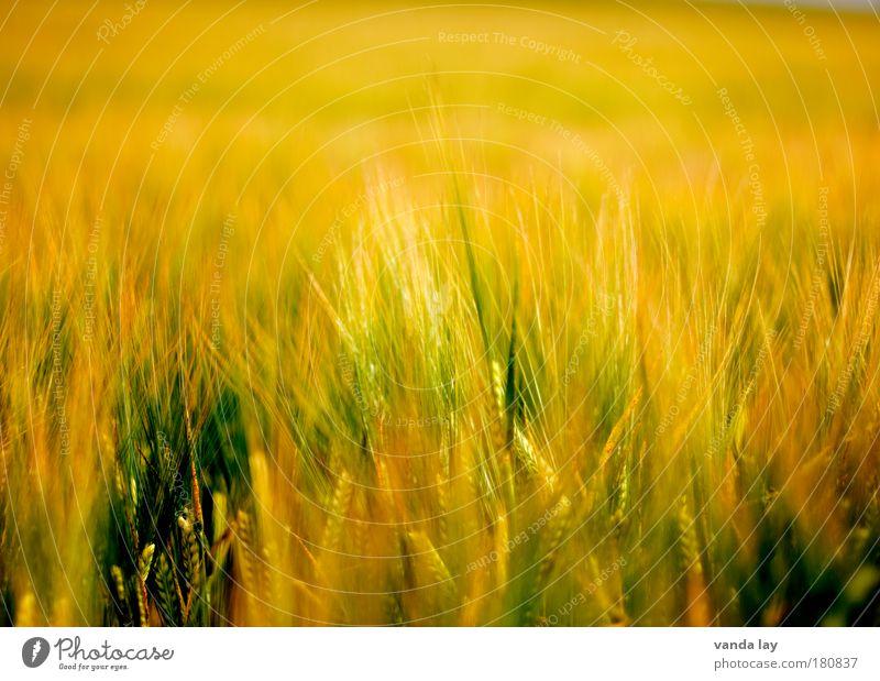 Paradise Lost Natur grün Pflanze gelb Ferne Wärme orange Feld Hintergrundbild Getreide Umwelt gold Gras heiß Halm Hölle