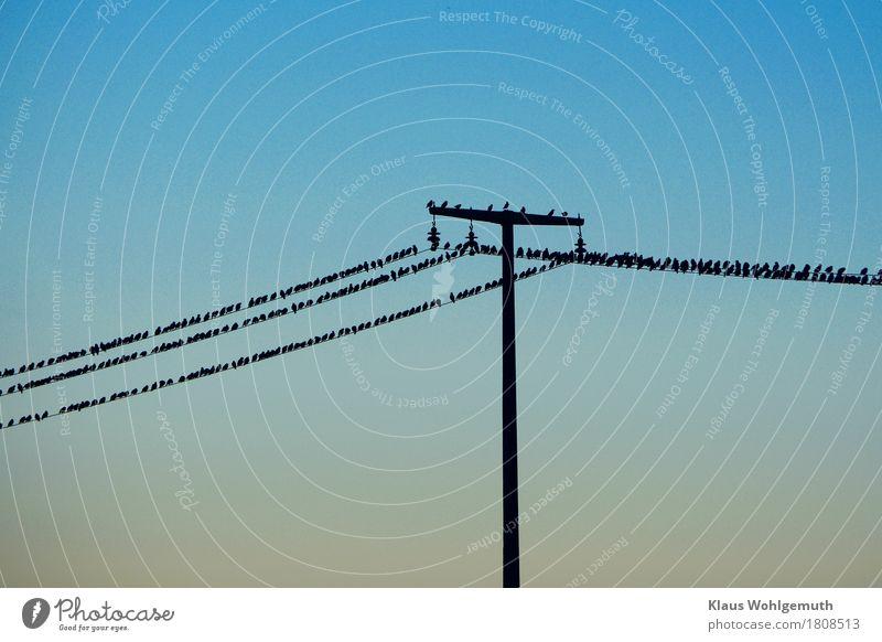 Invasion Energiewirtschaft Umwelt Natur Tier Wolkenloser Himmel Herbst Hochsitz Vogel Star Schwarm fliegen warten bedrohlich braun schwarz türkis Flugangst