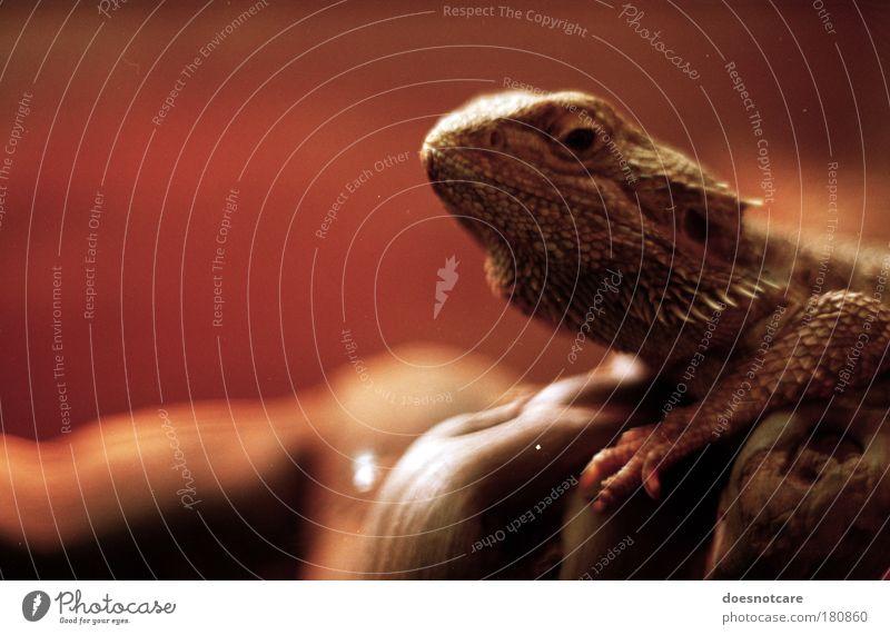 Henry Lawson. Tier Wildtier 1 braun rot analog Bart-Agame zwergbartagame Pogona henrylawsoni Echsen Stachel Wüste Australien Reptil Agamen Wachsamkeit Blick