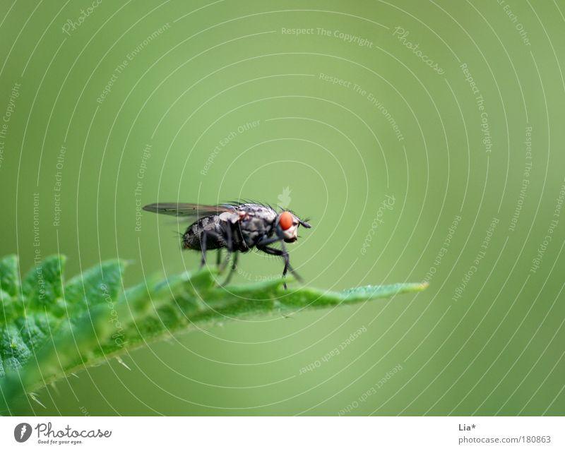 red eye Farbfoto Nahaufnahme Detailaufnahme Makroaufnahme Textfreiraum rechts Textfreiraum oben Textfreiraum unten Pflanze Fliege Insekt 1 Tier hocken grün