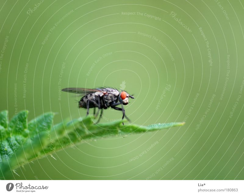 red eye grün Pflanze Tier klein Fliege Insekt hocken Stechmücke