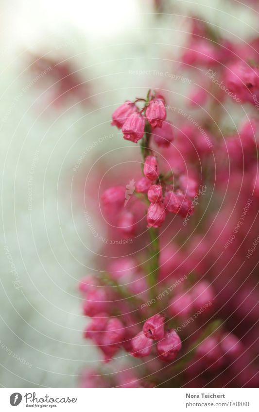 Pink II Natur schön Pflanze Sommer Blume Blatt Umwelt Landschaft Herbst Blüte träumen Park Stimmung rosa Wachstum verrückt