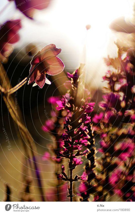 ein letzter Sommerabschiedsgruß Natur schön grün Pflanze rot gelb Herbst Wiese Gras Wärme Landschaft rosa Umwelt gold frei