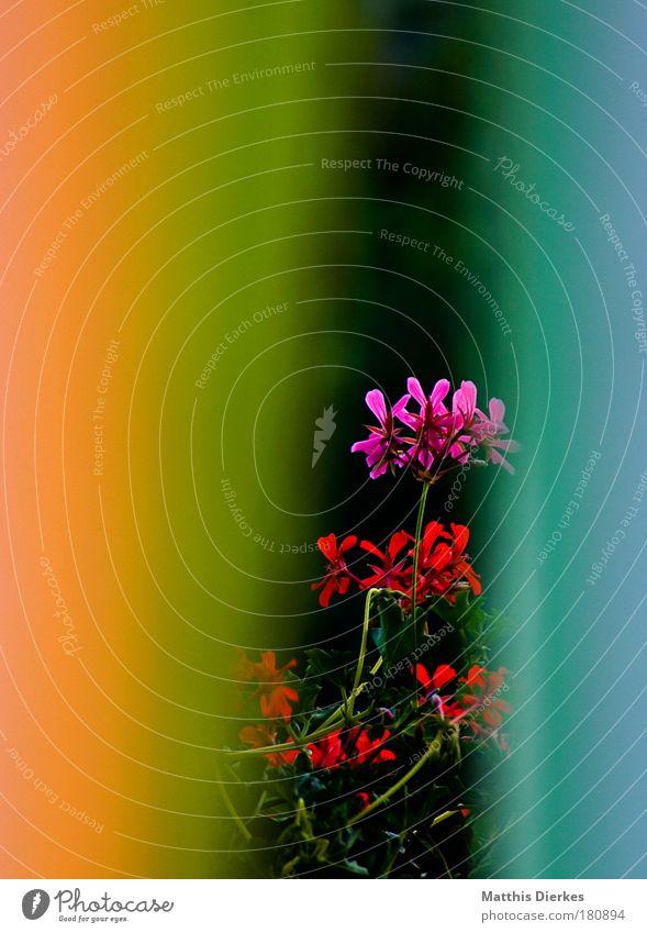 Regenbogen | Blume | Regenbogen Blüte Orchidee Gardine Farbe Wohnzimmer Balkon Dekoration & Verzierung innenausstattung Detailaufnahme schön Haus