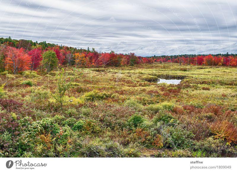 Foliage II Natur Landschaft Pflanze Herbst Schönes Wetter Baum Wiese Wald ästhetisch außergewöhnlich Neuengland Färbung Maine Ahorn Tourismus