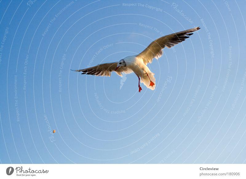 Für Nahrung buckeln müssen Farbfoto Außenaufnahme Hintergrund neutral Tag Sonnenlicht Vogelperspektive Tierporträt Ernährung füttern werfen fliegen Umwelt Natur