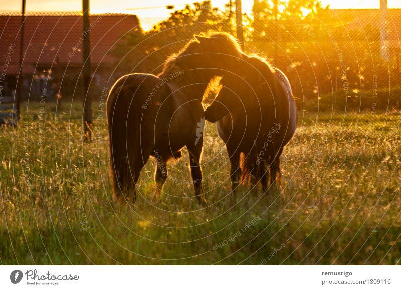 Zwei Ponys spielen Sommer Natur Tier Gras Pferd Fressen klein Colt Bauernhof Zaun Feld Lichtschein Fohlen Mähne Weide Ranch Sonnenuntergang Leitwerke Europa