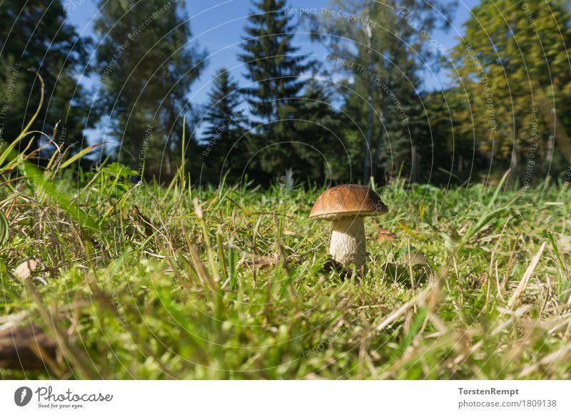 Birkenpilz_3 Moos Wald lecker Birken-Röhrling Birkenröhrling Boletineae Geißpilz Leccinum scabrum Raufuss birkenpilz essbar Pilz Pilze Speisepilz Speisepilze