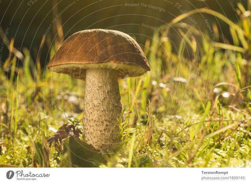 Birkenpilz im Herbstlicht Lebensmittel Ernährung Bioprodukte Natur Gras Wiese Wald nachhaltig Pilz Birkenröhrling Leccinum scrabrum Raufuss Moos essbar