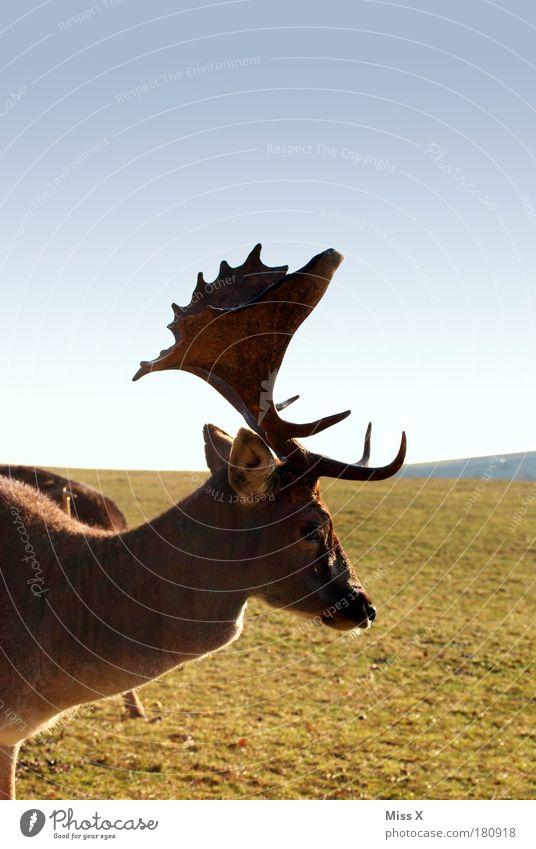 Hirscherla Natur Tier Wiese Umwelt groß Zoo Wildtier Schönes Wetter Horn Stolz Umweltschutz Hirsche Rentier gigantisch Streichelzoo