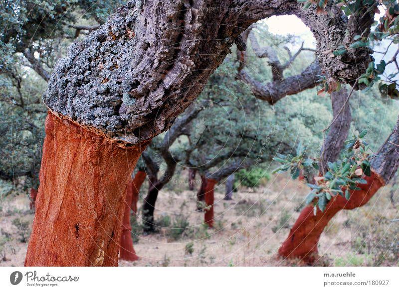 korkeichen frisch geschält Natur Baum Pflanze Holz Landschaft Umwelt Italien Landwirtschaft Baumstamm Baumrinde Grünpflanze Sardinien Nutzpflanze Plantage Kork Korkeiche