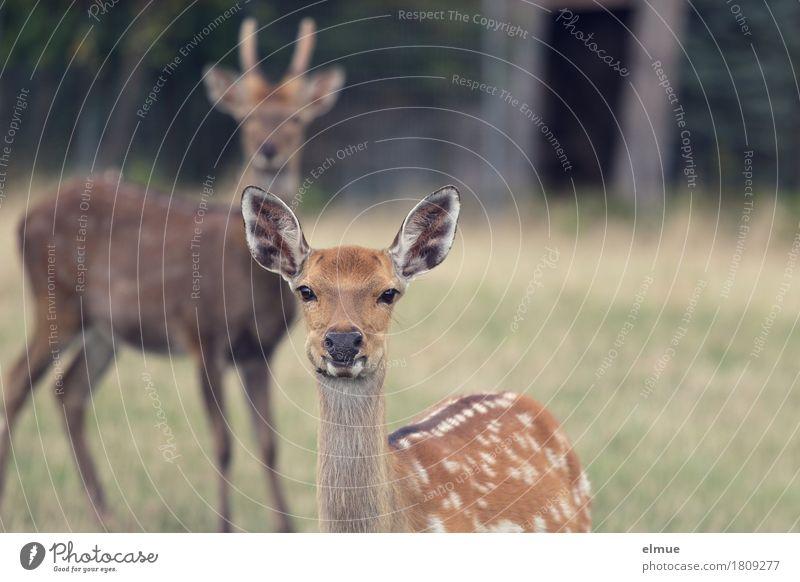 Auf den Punkt gebracht Gras Wald Sikawild Hirsche Bock Fell Ohr Ohrmuschel Punktmuster einen Bock schießen Kommunizieren Blick stehen ästhetisch Zusammensein
