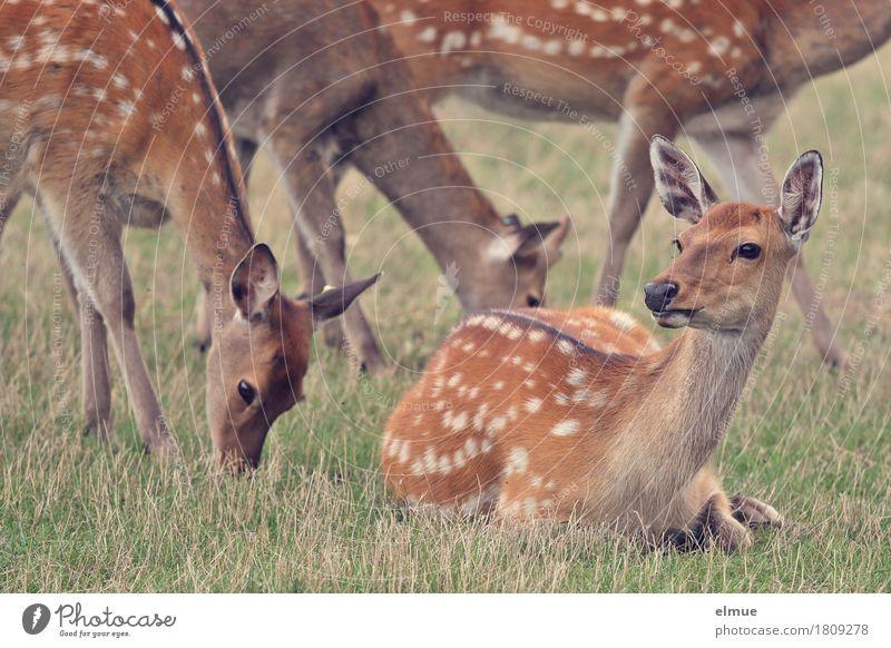 we are family Wiese Sikawild Sikahirsch Wildtier Hirsche Fell Ohr Ricke Tiergruppe Fressen liegen stehen ästhetisch Zusammensein natürlich Neugier schön braun