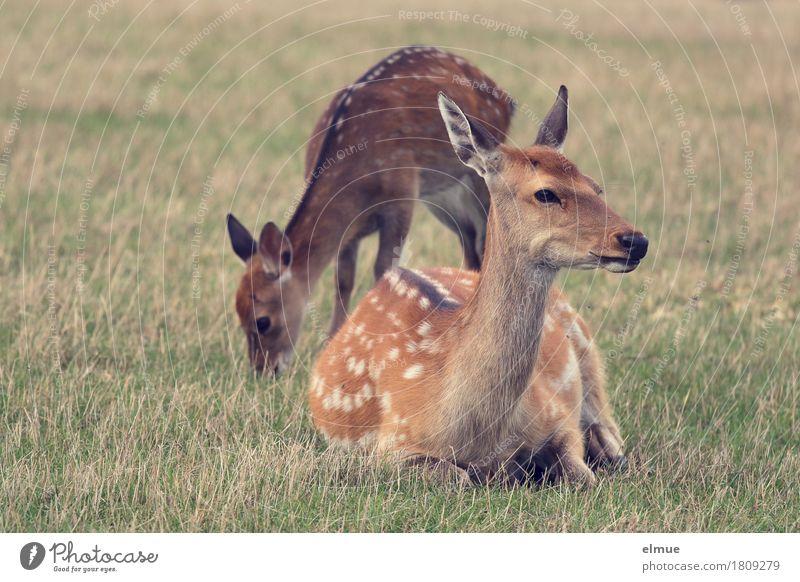 Päuschen Natur Wiese Sikahirsch Wildtier Ricke Tierjunges Punktmuster Fell Hirsche 2 Fressen liegen Blick stehen Zusammensein Glück braun Zufriedenheit