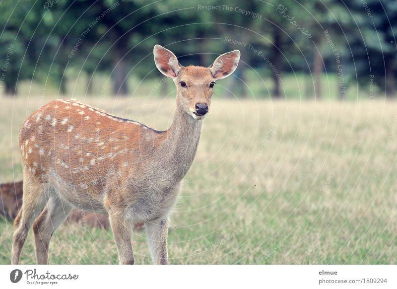 Neugier Wiese Sikawild Sikahirsch Reh Wildtier Wildfleisch Fell gepunktet Ohr rehbraun Wildfang Blick stehen authentisch nah Vertrauen Tierliebe Romantik
