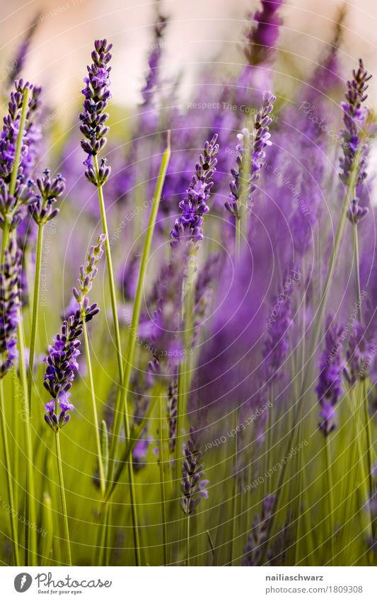 Lavendel Sommer Natur Pflanze Blume Blüte Blühend Duft Wachstum natürlich grün violett Frühlingsgefühle friedlich Reinheit Idylle rein Umwelt Provence Farbfoto