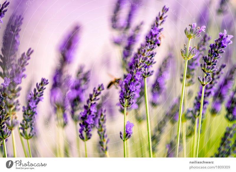 Lavendelfeld Sommer Natur Landschaft Pflanze Frühling Blume Blüte Grünpflanze Garten Park Wiese Blühend Duft Wachstum natürlich weich grün violett friedlich