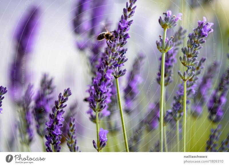 Lavendelfeld Sommer Umwelt Natur Landschaft Pflanze Blume Sträucher Blüte Biene 1 Tier Blühend verblüht Wachstum Duft einfach einzigartig natürlich grün violett