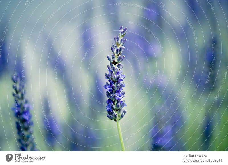 Lavendel Sommer Natur Pflanze Frühling Herbst Schönes Wetter Blume Gras Sträucher Blüte Nutzpflanze Garten Park Blühend Duft Wachstum natürlich weich blau grün