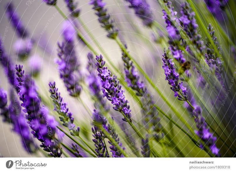 Lavendel Natur Pflanze Sommer schön grün Landschaft Blume Umwelt Blüte Frühling Wiese natürlich Garten Stimmung Park Feld