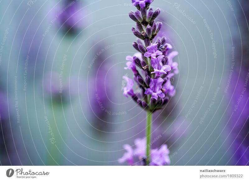 Lavendel Natur Pflanze blau Sommer Blume Umwelt Blüte Frühling natürlich Garten grau Park Wachstum Idylle Blühend Lebensfreude