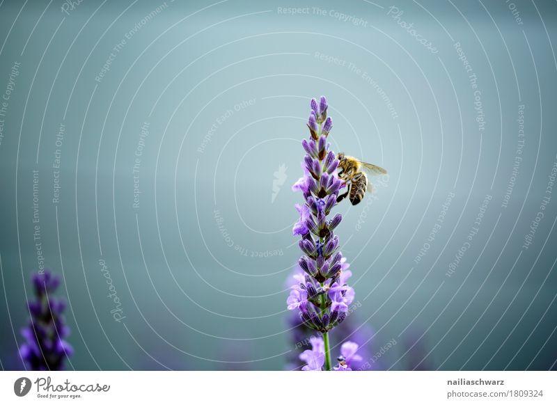 Fleißige Biene Natur Pflanze Sommer Blume Tier Umwelt Frühling Garten Arbeit & Erwerbstätigkeit Park Fröhlichkeit Blühend weich violett festhalten Insekt