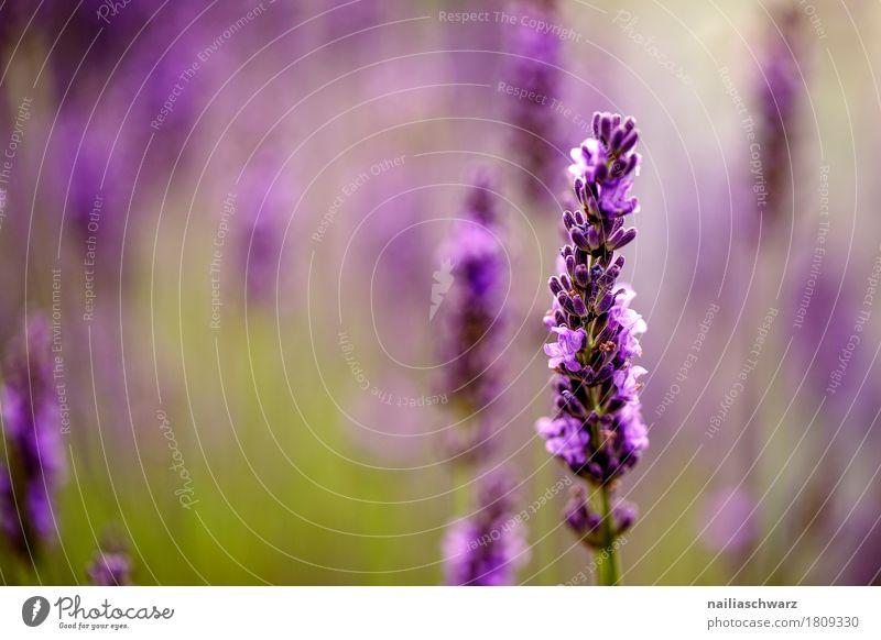 Lavendel Natur Pflanze Sommer Farbe schön grün Blume Umwelt Frühling natürlich Gras Garten Park Wachstum Idylle Fröhlichkeit