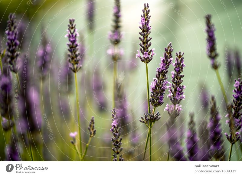 Lavendelfeld Natur Pflanze Sommer Farbe grün Blume Wärme Umwelt Blüte Frühling Wiese natürlich Garten Park träumen Wachstum