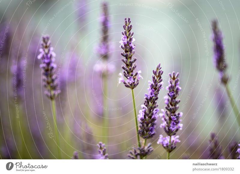Lavendelfeld Sommer Natur Pflanze Frühling Schönes Wetter Blume Sträucher Blüte Garten Park Wiese Feld Blühend Duft verblüht Wachstum frisch natürlich schön