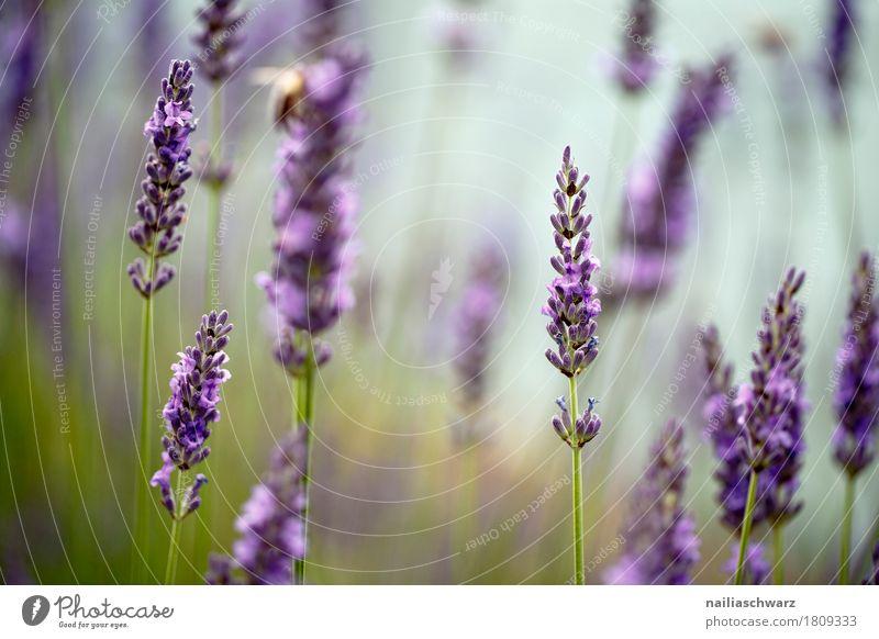 Lavender Sommer Umwelt Natur Schönes Wetter Pflanze Blume Sträucher Blüte Nutzpflanze Blühend Duft Wachstum frisch natürlich schön grün violett Frühlingsgefühle