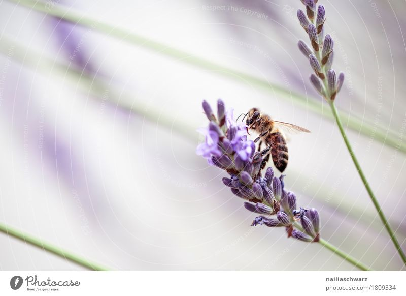 Lavendel und Biene Natur Pflanze Sommer schön Blume Tier Umwelt Blüte Frühling Garten Arbeit & Erwerbstätigkeit Park Wachstum frisch Blühend weich