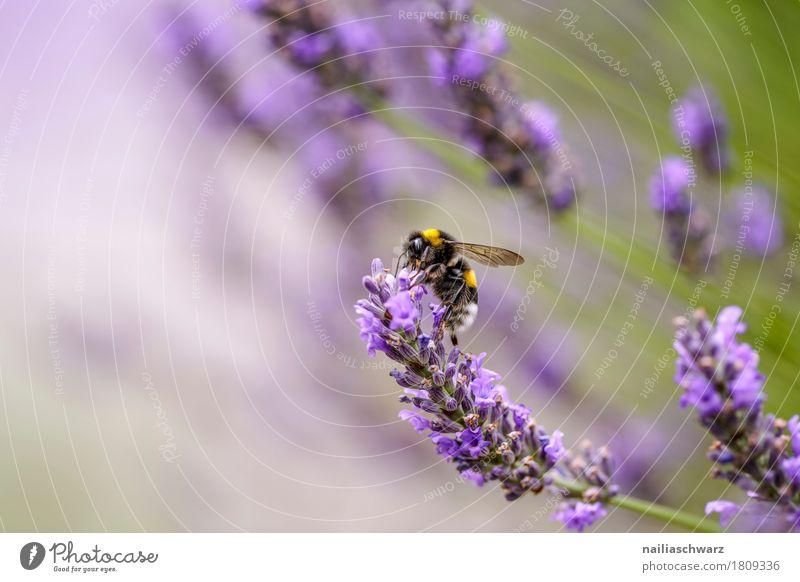 Biene auf Lavendel Blume Natur Pflanze Sommer grün Baum Tier Umwelt Blüte Wiese natürlich Garten Arbeit & Erwerbstätigkeit Park Feld Wachstum