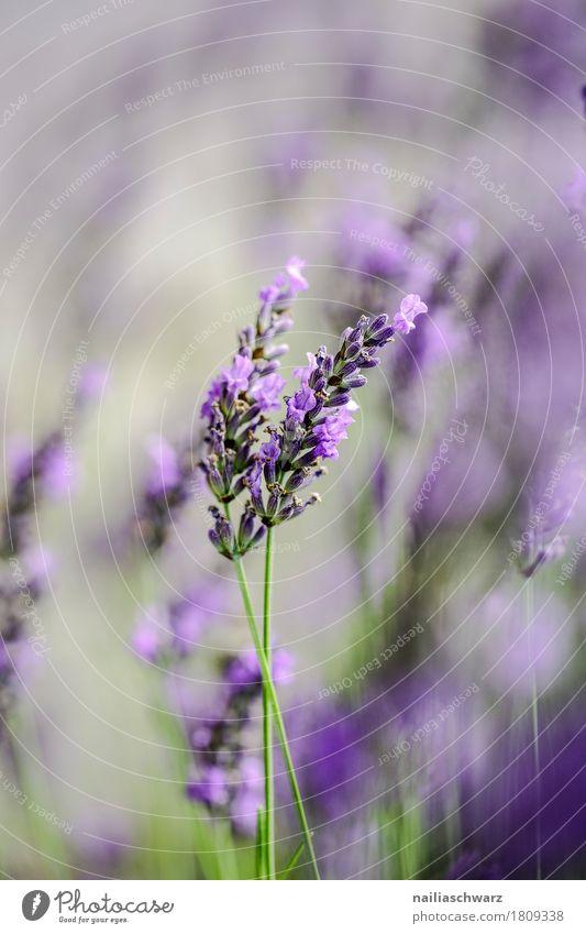 Lavendel Natur Pflanze Sommer Farbe schön grün Blume Blüte Frühling Wiese natürlich Garten Park Feld Wachstum Idylle
