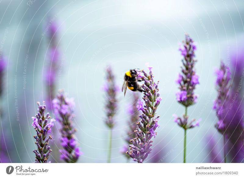 Lavendel Sommer Umwelt Natur Pflanze Tier Luft Blume Blüte Garten Park Wiese Nutztier Biene Insekt 1 Arbeit & Erwerbstätigkeit berühren Duft genießen