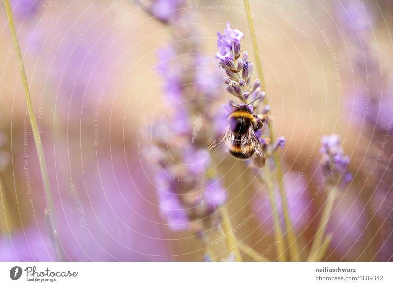 Lavendel Sommer Natur Pflanze Tier Frühling Blume Blüte Nutzpflanze Garten Park Wiese Feld Insekt Hummel Biene Arbeit & Erwerbstätigkeit Blühend Duft Wachstum