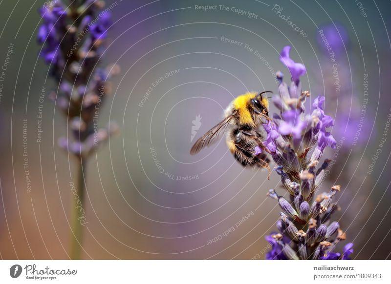 fleißige Biene Sommer Natur Frühling Pflanze Blume Blüte Lavendelfeld Tier Nutztier Insekt 1 Arbeit & Erwerbstätigkeit Blühend Duft Freundlichkeit natürlich