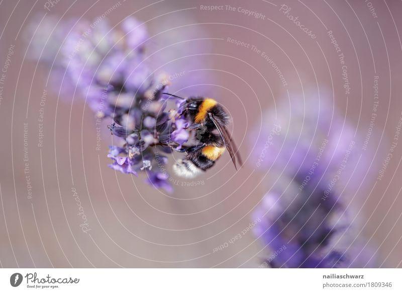 Lavendel Sommer Natur Pflanze Tier Frühling Blume Blüte Nutzpflanze Wildpflanze Garten Park Wiese Nutztier Biene 1 Arbeit & Erwerbstätigkeit Blühend genießen