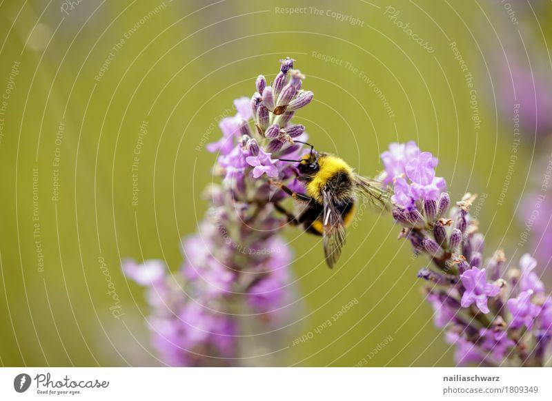 Lavendel Sommer Umwelt Natur Pflanze Tier Frühling Klima Blume Blüte Garten Wiese Feld Nutztier Biene Insekt 1 Arbeit & Erwerbstätigkeit Blühend Duft festhalten