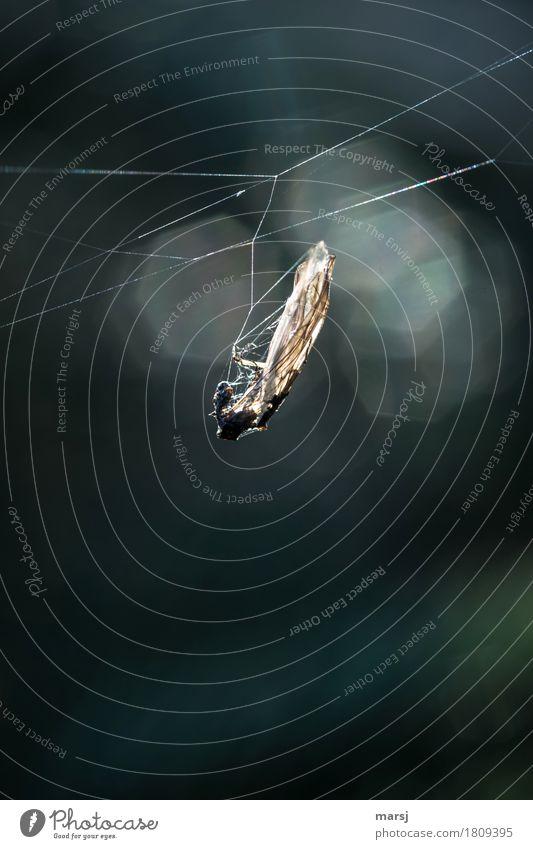 Genießen l einfach mal gemütlich abhängen Natur Tier natürlich Wildtier Flügel Insekt Spinnennetz Totes Tier