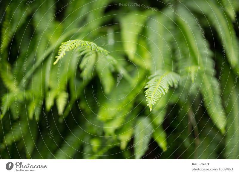 Farn Natur Pflanze Grünpflanze ästhetisch frisch natürlich grün Zufriedenheit Farbe photocase Farbfoto Außenaufnahme Menschenleer Tag Schwache Tiefenschärfe