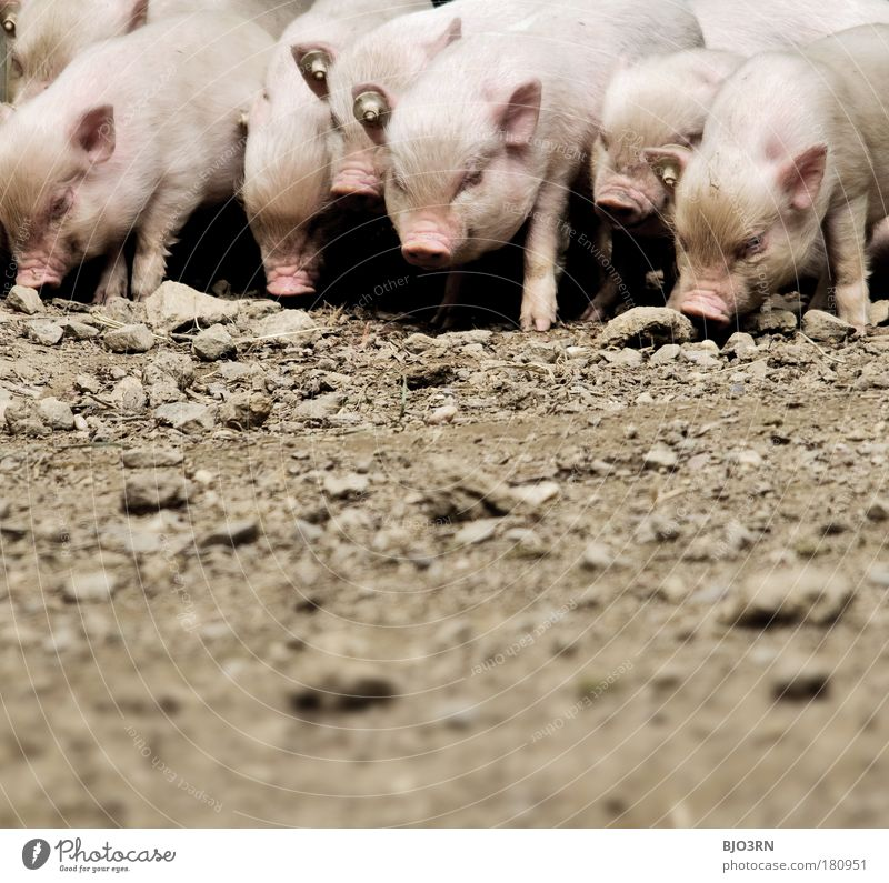 sauhaufen Natur Tier Herbst Ernährung Umwelt lustig braun Tierjunges Erde Feld rosa dreckig natürlich wild Geschwindigkeit Tiergruppe