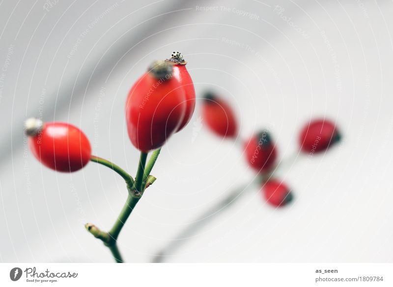 Hagebuttenzweige Wellness Leben harmonisch Erntedankfest Umwelt Natur Pflanze Herbst Sträucher Beeren Frucht ästhetisch glänzend hell modern grün rot weiß