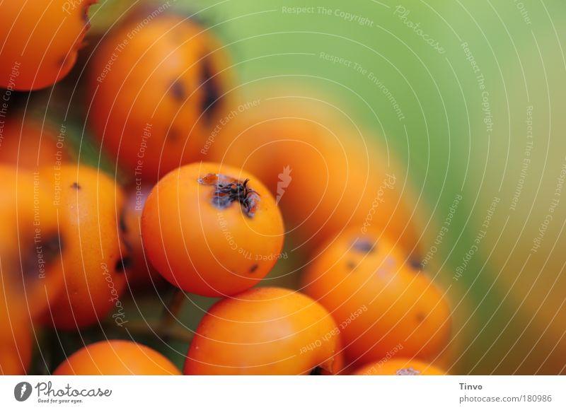 Feuerdorn Farbfoto Außenaufnahme Textfreiraum rechts Tag Schwache Tiefenschärfe Natur Sommer Herbst Sträucher Park grün orange Frucht herbstlich Botanik Beeren
