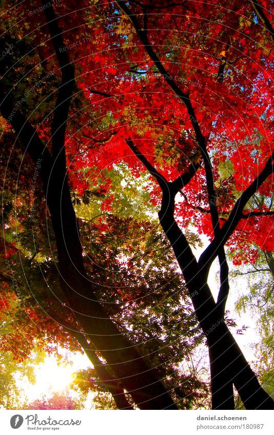 roter Hochkantherbst Baum grün Wald Herbst Park Wetter Wachstum Wandel & Veränderung Licht Sonnenstrahlen Natur Sonnenaufgang