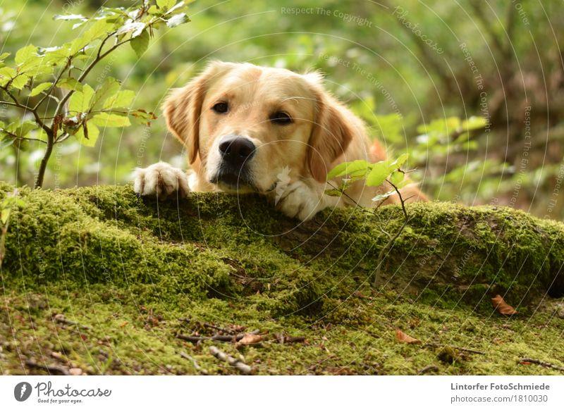 Eine Pause im Grünen... Tier Haustier Hund 1 Tierliebe Golden Retriever Farbfoto Außenaufnahme Nahaufnahme Tierporträt Blick